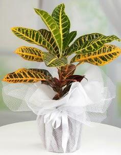 Orta boy kraton saksı bitkisi  Ankara çiçek servisi , çiçekçi adresleri