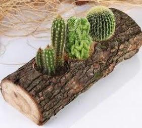 Doğal ağaç 4 adet kaktüs tanzimi  Ankara çiçekçi telefonları