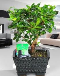 Bonsai japon ağacı saksı bitkisi  Ankara çiçek satışı
