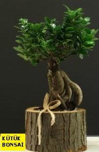Kütük içerisinde Bonsai japon ağacı  Ankara internetten çiçek siparişi