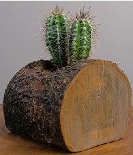 Gerçek doğal kütük içerisinde 2 kaktüs  Ankara hediye çiçek yolla