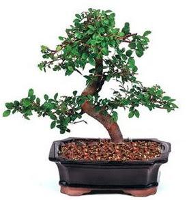 İthal bonsai japon ağacı  Ankara çiçek siparişi sitesi
