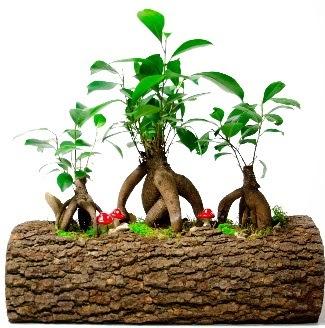 Doğal kütük içinde 3 Bonsai Japon ağacı  Ankara internetten çiçek satışı