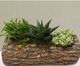 Doğal ahşap kütük içerisinde 3 kaktüs  Ankara internetten çiçek siparişi