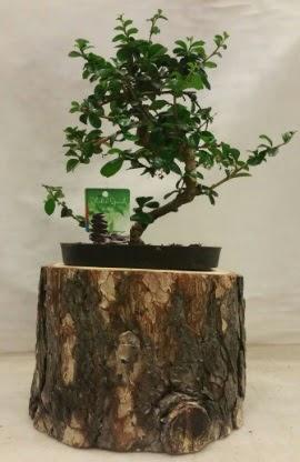 Doğal kütük içinde bonsai japon ağacı  Ankara hediye çiçek yolla