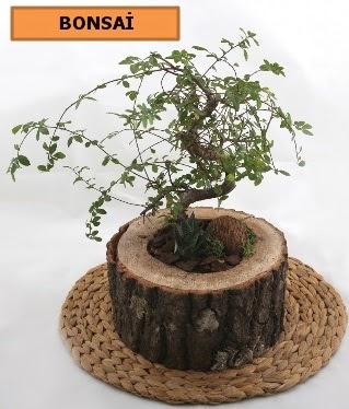 Doğal ağaç kütük içerisinde bonsai bitkisi  Ankara çiçek gönderme sitemiz güvenlidir