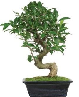 Bonsai saksı bitkisi japon ağacı  Ankara çiçek siparişi vermek