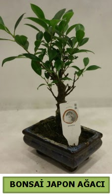 Bonsai japon ağacı saksı bitkisi  Ankara çiçek servisi , çiçekçi adresleri