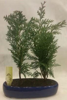 SINIRLI SAYIDA Selvi Ağacı bonsai ikili  Ankara çiçekçi telefonları