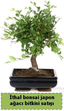 İthal bonsai saksı çiçeği Japon ağacı satışı  Ankara hediye çiçek yolla