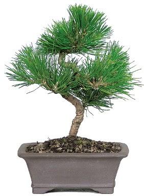 Çam ağacı bonsai japon ağacı bitkisi  Ankara çiçek gönderme