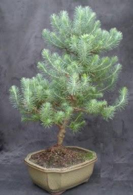 Bonsai çam ağacı japon ağacı bitkisi  Ankara çiçek gönderme sitemiz güvenlidir