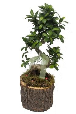 Doğal kütükte bonsai saksı bitkisi  Ankara hediye çiçek yolla