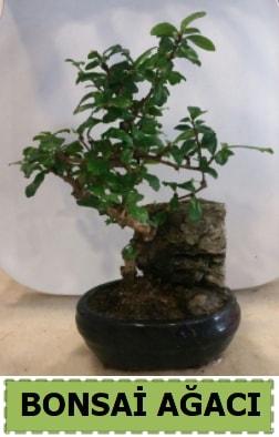 Bonsai ağacı japon ağacı satışı  Ankara İnternetten çiçek siparişi