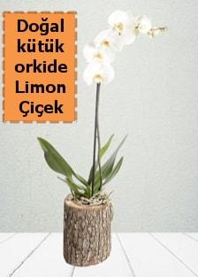 Doğal kütükte tek dallı beyaz orkide  Ankara çiçekçi telefonları