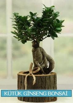 Kütük ağaç içerisinde ginseng bonsai  Ankara çiçek gönderme sitemiz güvenlidir