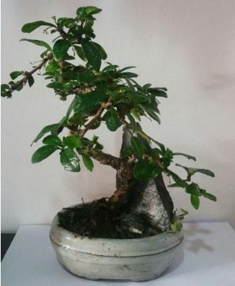 S şeklinde ithal bonsai ağacı  Ankara çiçek yolla