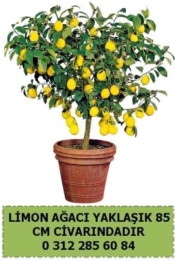 Limon ağacı bitkisi  Ankara çiçek satışı