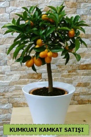 Kamkat 35 cm civarı kumkuat bitkisi  Ankara çiçek gönderme