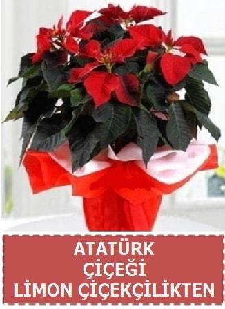 Atatürk çiçeği saksı bitkisi  Ankara çiçek satışı
