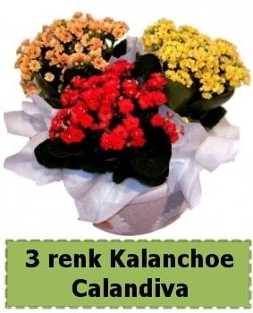 3 renk Kalanchoe Calandiva saksı bitkisi  Ankara çiçek gönderme