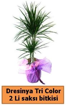 Dresinya Tri Color 2 li saksı bitkisi çiçeği  Ankara çiçek satışı