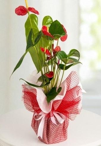 Anthurium Saksı Çiçeği  Ankara İnternetten çiçek siparişi