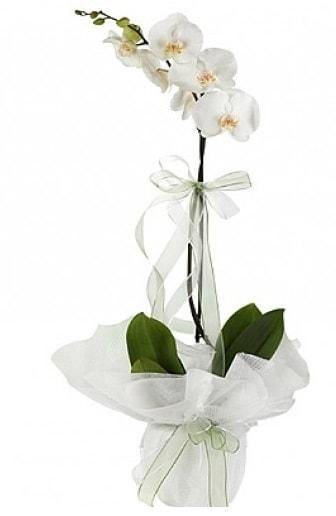 Tekli Beyaz Orkide  Ankara İnternetten çiçek siparişi
