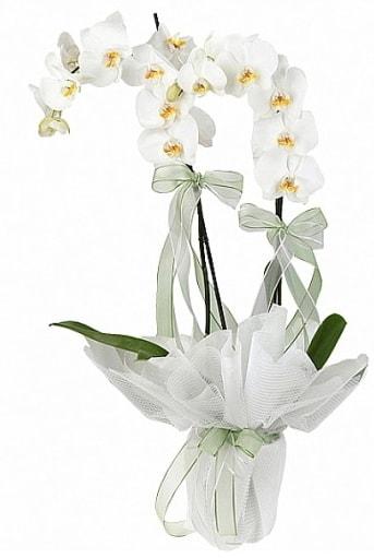 Çift Dallı Beyaz Orkide  Ankara anneler günü çiçek yolla