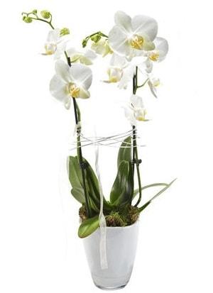 2 dallı beyaz seramik beyaz orkide saksısı  Ankara çiçek gönderme sitemiz güvenlidir