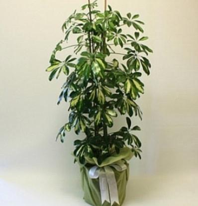 Şeflera salon bitkisi  Ankara çiçek gönderme