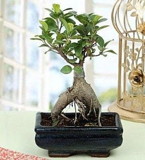 Appealing Ficus Ginseng Bonsai  Ankara anneler günü çiçek yolla