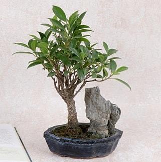 Japon ağacı Evergreen Ficus Bonsai  Ankara çiçek gönderme sitemiz güvenlidir