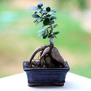 Marvellous Ficus Microcarpa ginseng bonsai  Ankara çiçek siparişi vermek