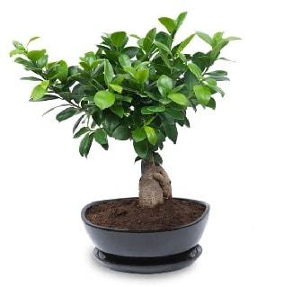 Ginseng bonsai ağacı özel ithal ürün  Ankara internetten çiçek satışı