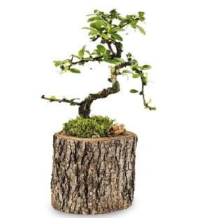 Doğal kütükte S bonsai ağacı  Ankara çiçek satışı