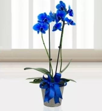 Çift dallı mavi orkide  Ankara çiçek satışı