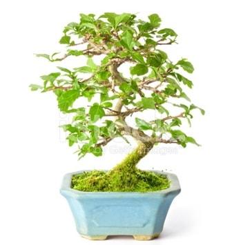 S zerkova bonsai kısa süreliğine  Ankara hediye çiçek yolla