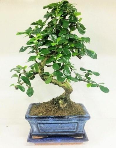 S Bonsai japon ağacı bitkisi  Ankara uluslararası çiçek gönderme