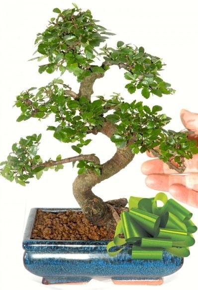 Yaklaşık 25 cm boyutlarında S bonsai  Ankara çiçek siparişi sitesi