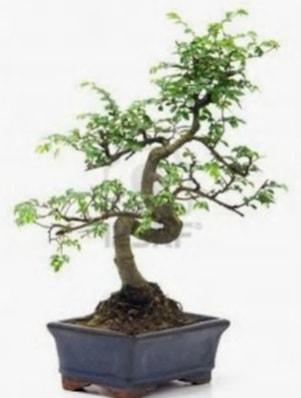 S gövde bonsai minyatür ağaç japon ağacı  Ankara çiçek satışı