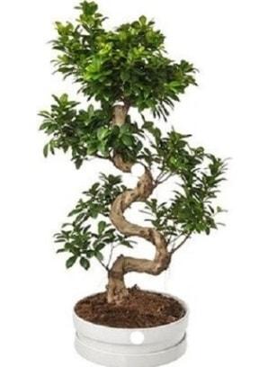 90 cm ile 100 cm civarı S peyzaj bonsai  Ankara çiçek gönderme sitemiz güvenlidir
