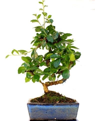 S gövdeli carmina bonsai ağacı  Ankara çiçek yolla  Minyatür ağaç
