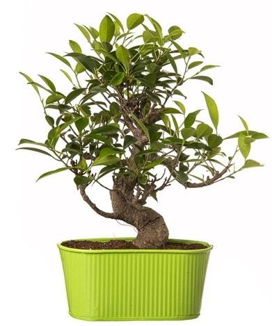 Ficus S gövdeli muhteşem bonsai  Ankara çiçek siparişi sitesi