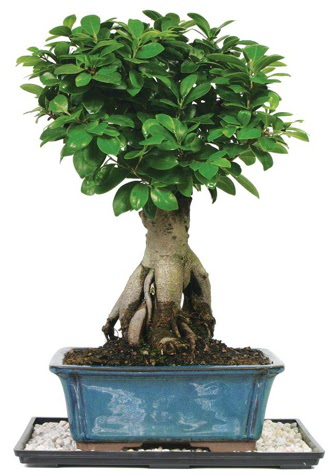 Bonsai Ginsing Grafted Ficus Bonsai  Ankara çiçek yolla