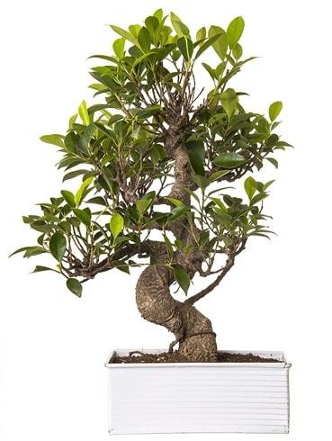 Exotic Green S Gövde 6 Year Ficus Bonsai  Ankara çiçek gönderme sitemiz güvenlidir